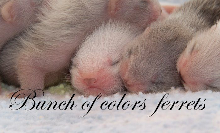 Bunch of Colors Ferrets
